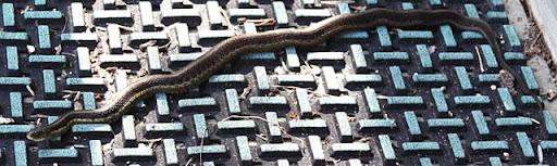 Garter Snake (Thamnophis)