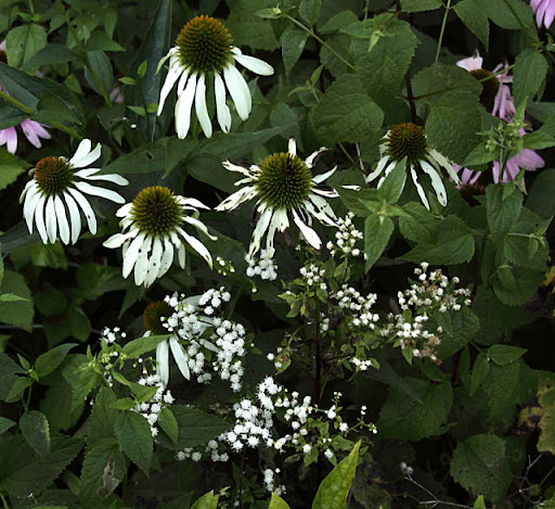 White coneflower(Echinacea purpurea 'White Swan') and White snakeroot (Eupatorium rugosum)