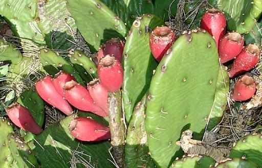 prickly pear cactus (Opuntia macroorhiza)