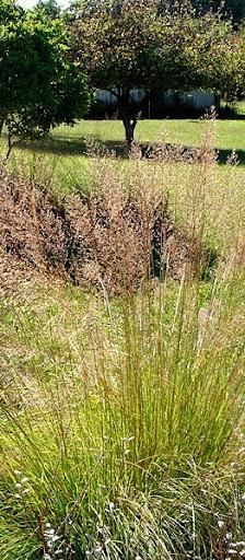 prairie dropseed (Sporobolus heterolepis)