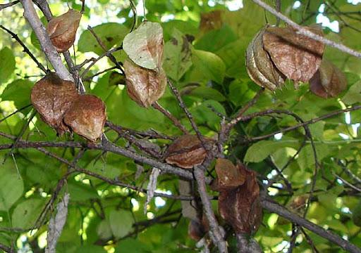 American Bladdernut (Staphylea trifoliata)