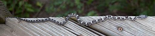 juvenile fox snake