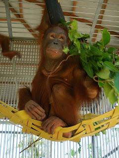 Mona the orangutan