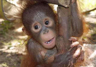 Monti the baby orangutan