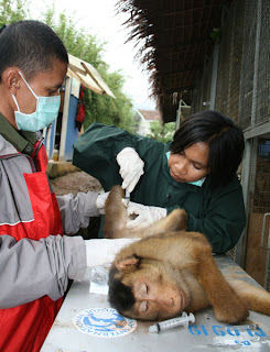 Macaque being prepared for release