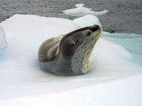 Krabeter zeehond - Crabeater seal