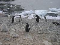 Gentoo Pinguïns
