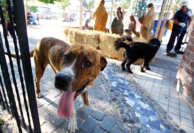 Contraloría autoriza a municipios a practicar eutanasia de perros vagos enfermos o heridos.