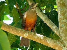 Ave Símbolo do ALACAZUM:Sabiá Laranjeira (turdus rufiventris)