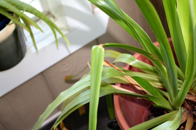 Mes passions iris neomarica gracilis - Plante contre l humidite dans la maison ...