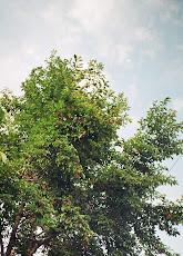 Magnolia la Cugir, septembrie 2008