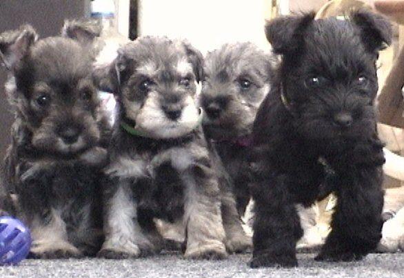 Miniature Schnauzer Puppies FOR SALE!!!!!!!!!! Classified Ad - El Paso Dogs