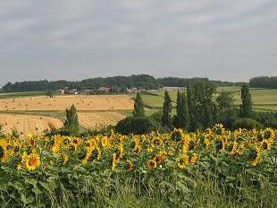 Sunflower Fields of Lop Buri