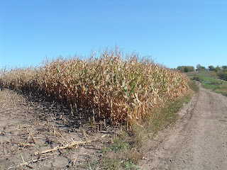 Corn near Harvest Time
