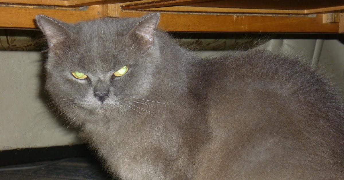 Kucing Utara Kucing British Short Hair
