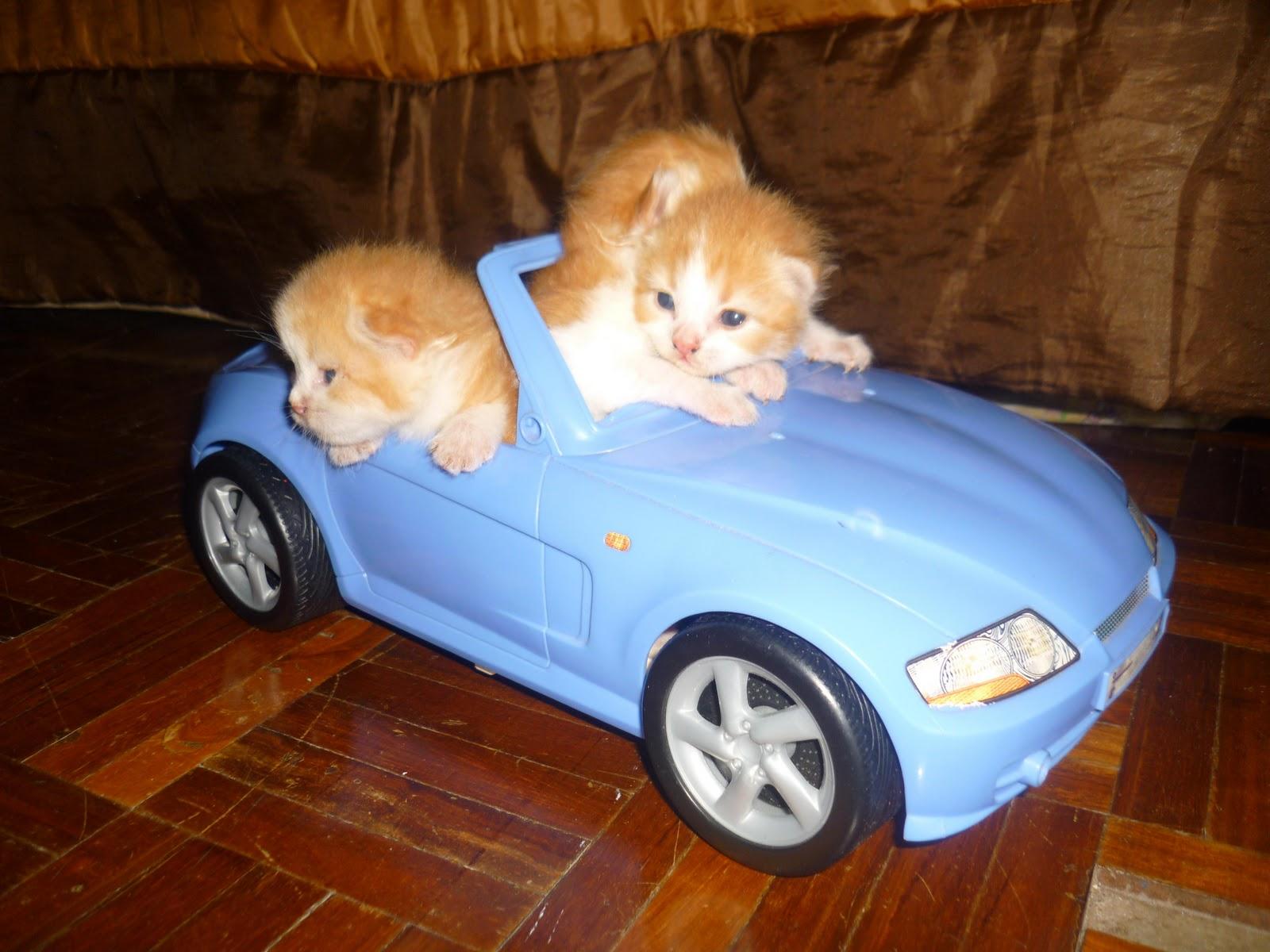 Kucing+parsi
