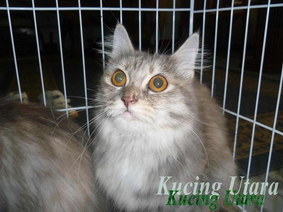 Kucing Utara Anak Kucing Mati Selepas Dilahirkan