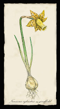 Narcissus sylvestris Giraffodil