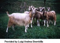 TYPE OF GOATS-BADAMELLO