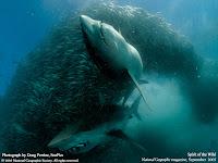 pesti rechini mancare