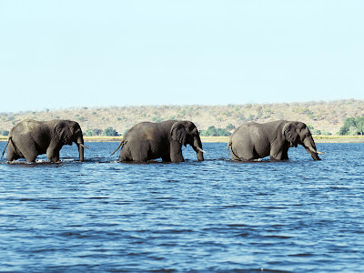 Elefantii vor disparea in totalitate pana in anul 2020