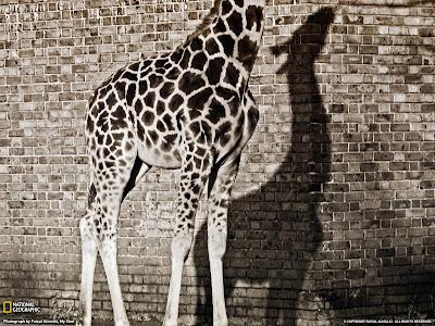 girafa fara cap