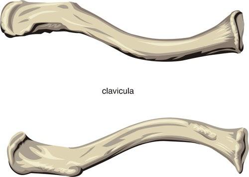 Principales Huesos Del Cuerpo Humano Clavicula