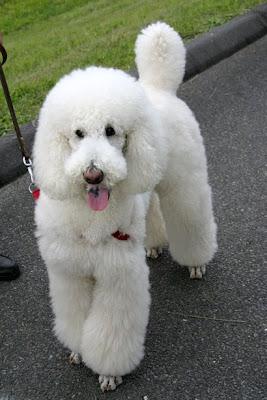 Standard Poodle Gallery