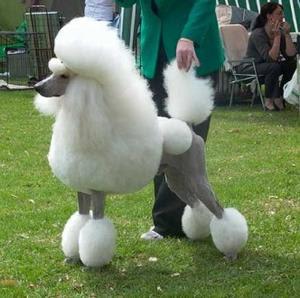 Standard Poodle Popular Dogs