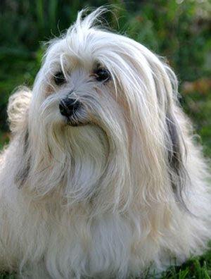 Havanese Top Dog Breeds