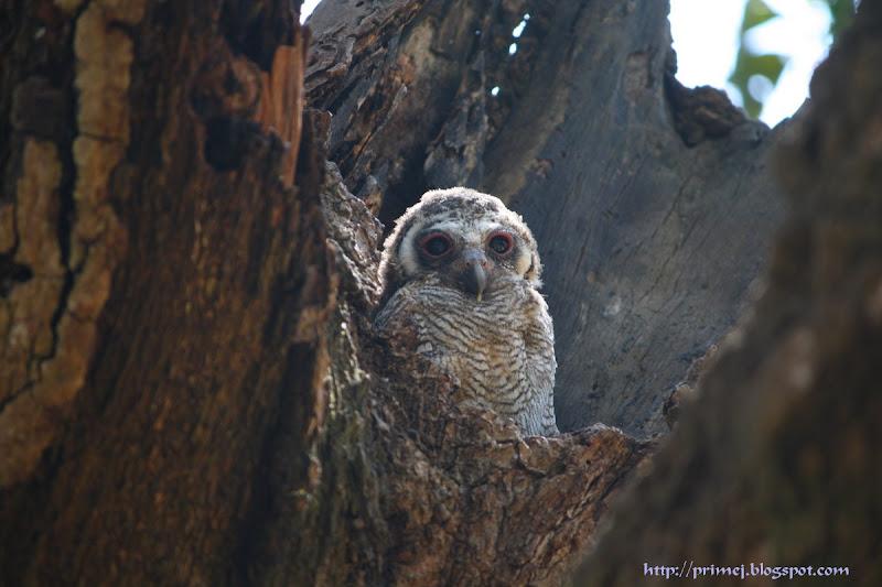 Mottled Wood Owlet
