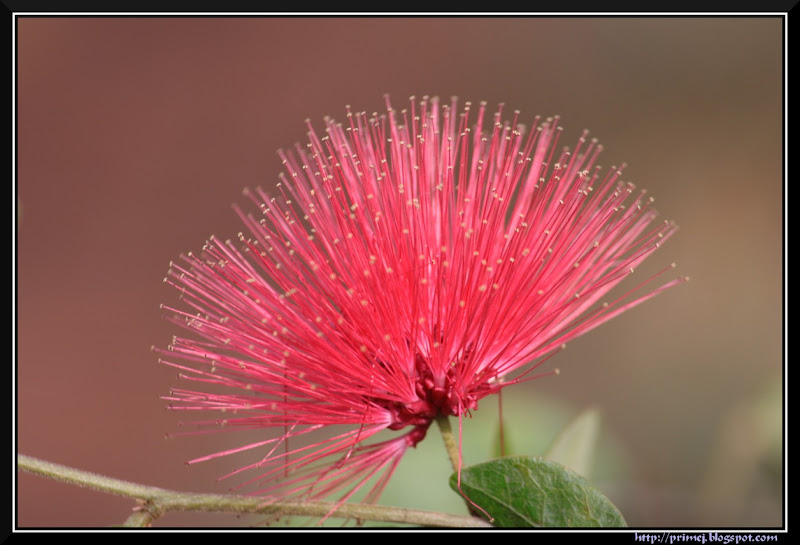 Powder Puff Flower