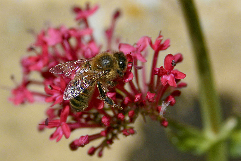 hoe communiceren bijen