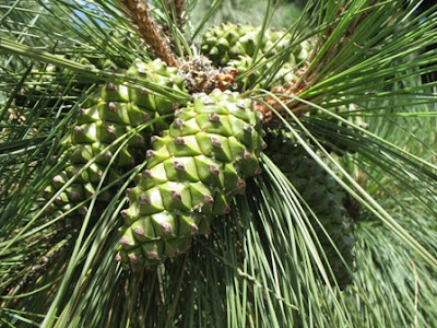 Canary Island Pine cones