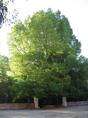 Mature Ulmus minor tree