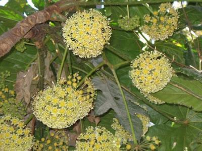 Trevesia palmata flowers