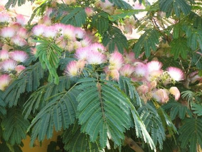 The worlds tree species persian silk tree albizia julibrissin persian silk tree albizia julibrissin mightylinksfo
