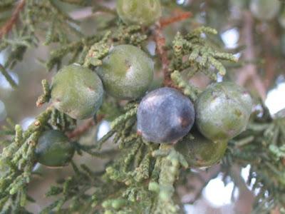 Spanish Juniper seed cones