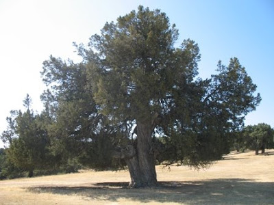Spanish Juniper tree
