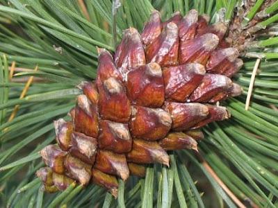 Mountain Pine - Pinus mugo subsp. uncinata