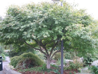 large Japanese Maple in