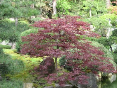 The Japanese maple (species
