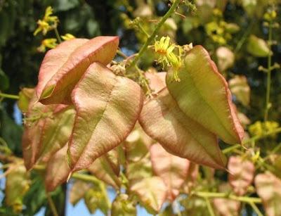 The Worlds Tree Species Goldenrain tree Koelreuteria paniculata