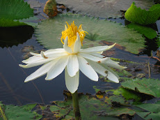 White Mesmerising Lotus, N. Park