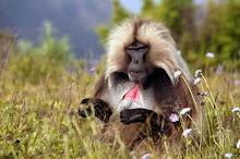 A male gelada