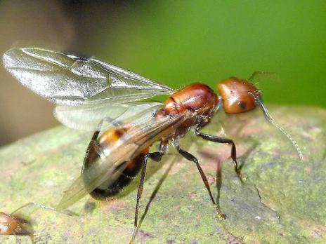 http://4.bp.blogspot.com/_oLTsa58MAQE/TLbgWGA5efI/AAAAAAAAAAw/On6guHL1qLY/s1600/gliding+ant.jpg