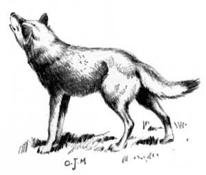 http://4.bp.blogspot.com/_oLh1xqLxnjs/TJMSyM3eWuI/AAAAAAAAAMw/hiHF2_z9-l8/s320/wolf_0.jpg