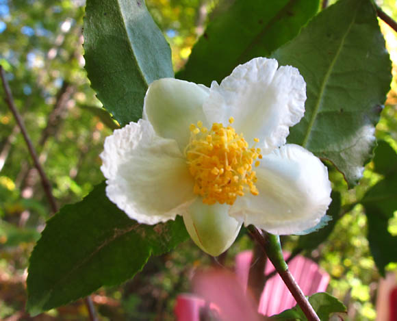 Nursery Stock Camellia Sinensis