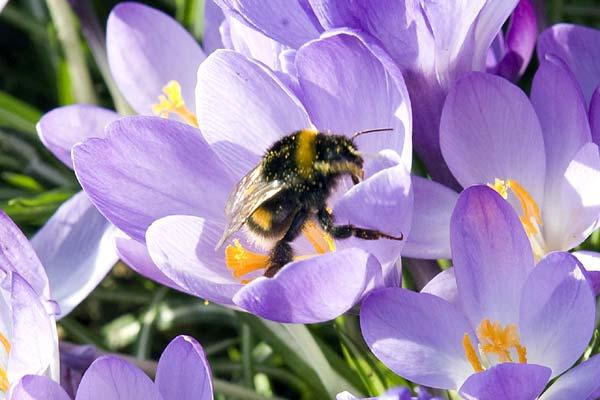 [En-Alemania,-una-abeja-disfruta-de-las-flores.expand]
