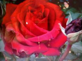 Wahai Wanita...Dirimu ibarat bunga mawar di taman larangan